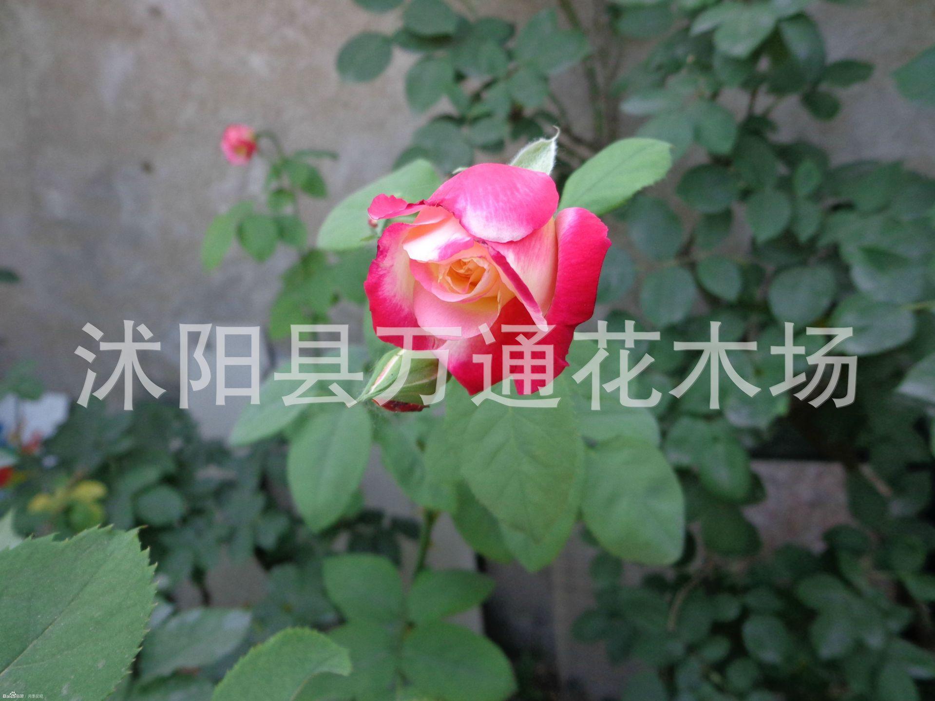 �t�p喜月季花苗2