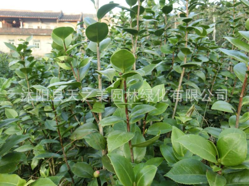 木 基地直销 茶花苗 茶花树苗 花卉 规格品种齐全 量大优惠 阿里巴巴