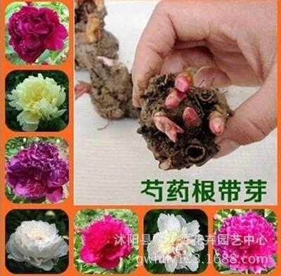 芍药花苗 盆栽地栽芍药 芍药花 芍药种苗 当年可开花 包成活