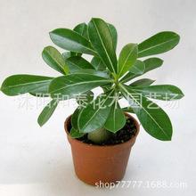 厂家直销办公室植物 沙漠玫瑰盆栽 农场供应 质量从优 量大优惠