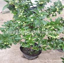 批发优质果树苗 长寿果果盆景 长寿果盆栽  阳台室内栽植