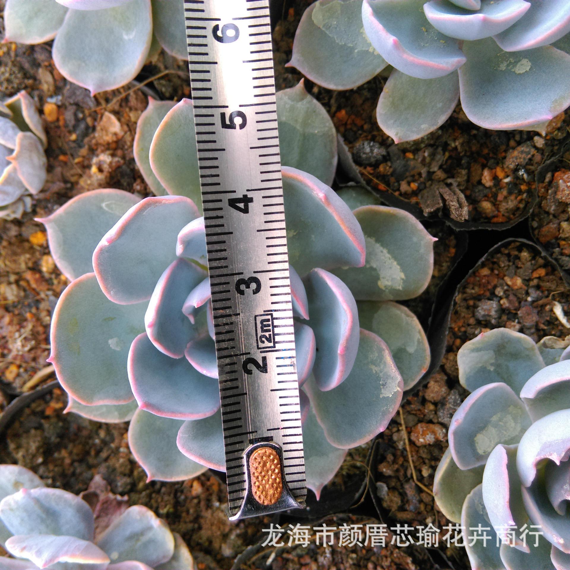 盆栽绿植 漳州多肉植物批发 蓝石莲 小4厘米 盆栽 绿植 阿里巴巴图片