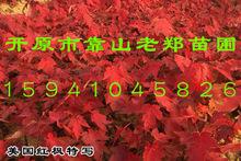 美国红枫树苗 改良红枫 北美红枫 加拿大红枫 东北耐寒红枫小苗