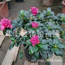 西洋比利时杜鹃映山红盆栽花卉室内带花盆绿植鲜花植物花苗包邮