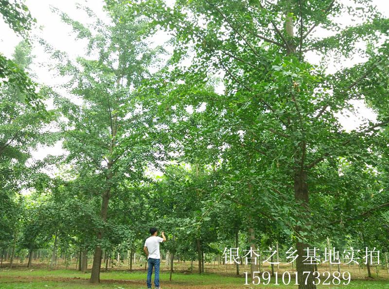 中国银杏之乡专供28公分银杏树苗木 基地直销 证件齐全
