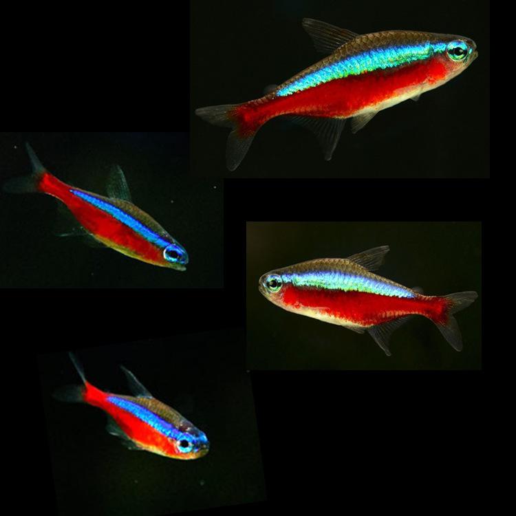 热带观赏鱼批发宝莲灯鱼 日光灯 红莲灯鱼 群游鱼