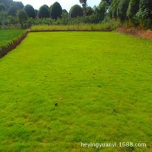 湖南草坪 草皮 台湾青马尼拉地被草皮 质量好 量大价优