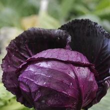 紫甘蓝种子 紫色卷心菜 紫包菜庭院阳台蔬菜种子易种高产菜籽