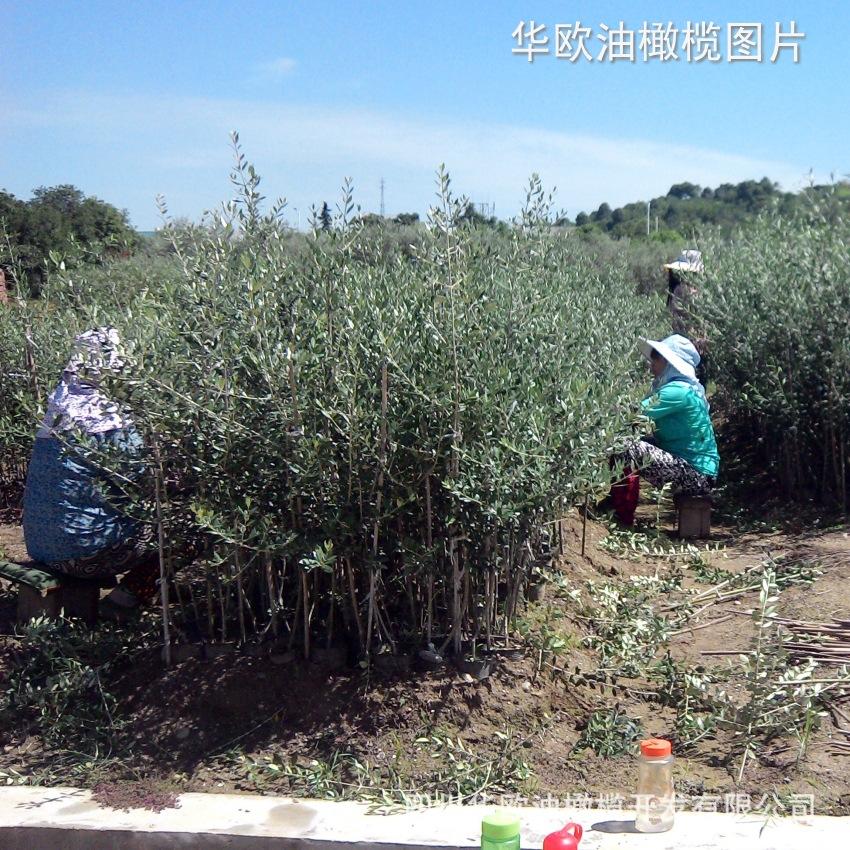 油橄榄树苗.果树苗木. 莱星、皮削利、科拉蒂纳幼苗【2~3年龄】