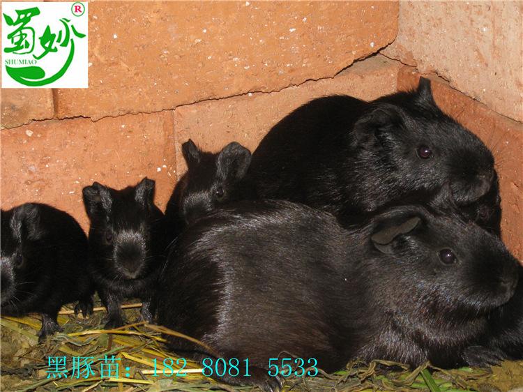 荷蘭豬黑豚種苗批發