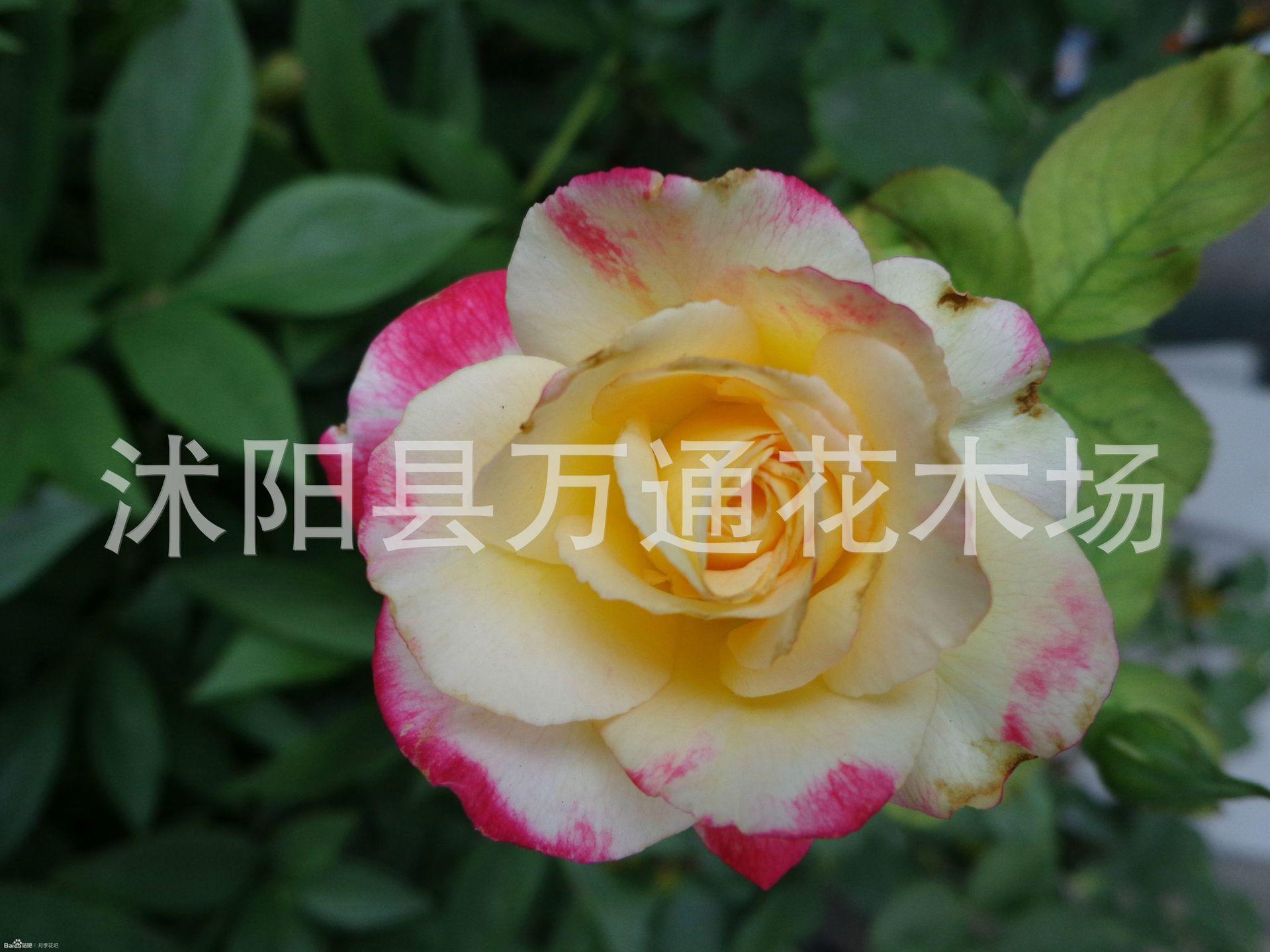 �t�p喜月▲季花苗8