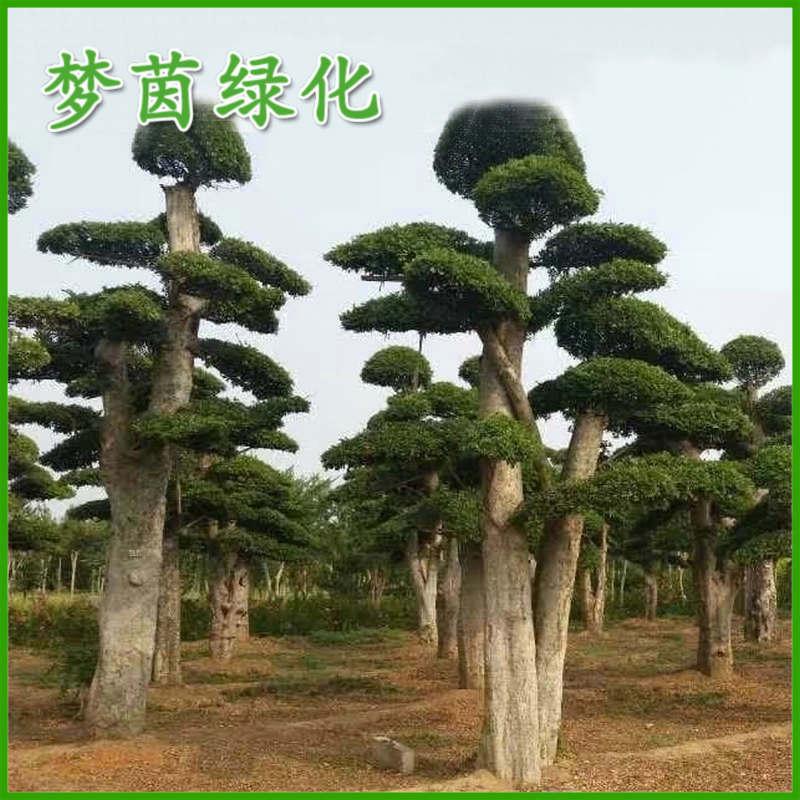 上海绿化工程苗木刺冬青 高档造型桩景 庭院园林绿化古树盆景批发