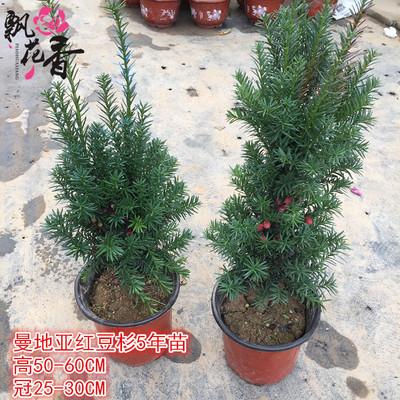 批发曼地亚南方红豆杉树苗 红豆杉盆栽植物室内盆景代理致富项目