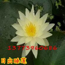 日出(黄色)迷你睡莲根块 微型小睡莲种根盆栽 碗栽水培花卉根茎