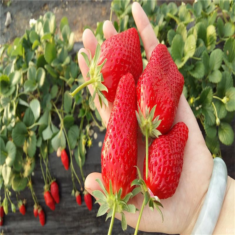 妙香草莓 草莓价格 基地批发现挖现发货 量大价优
