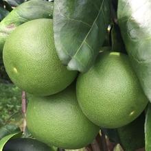泰国青柚 白蜜柚 进口柚子热带新鲜水果白柚 2个装 批发一件代发