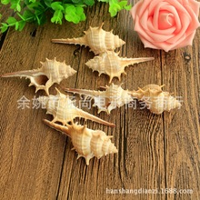拍攝道具 天然海螺刺螺大號一個 家居擺件裝飾品 海洋道具