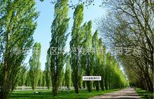 苗圃供应苗木树苗 杨树 送货上门保成活可负责栽植 可