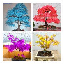 进口红枫种子 日本黄金枫种子 日本红枫 紫枫 蓝枫树 蝴蝶枫种子