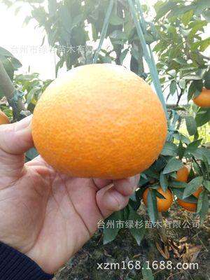 基地培育一年嫁接裸根爱媛28红美人柑桔苗 柑橘苗新品种果树苗木