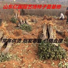 四云南柿子苗现货供应 嫁接柿子苗 优质日本甜柿子苗日本甜柿树苗