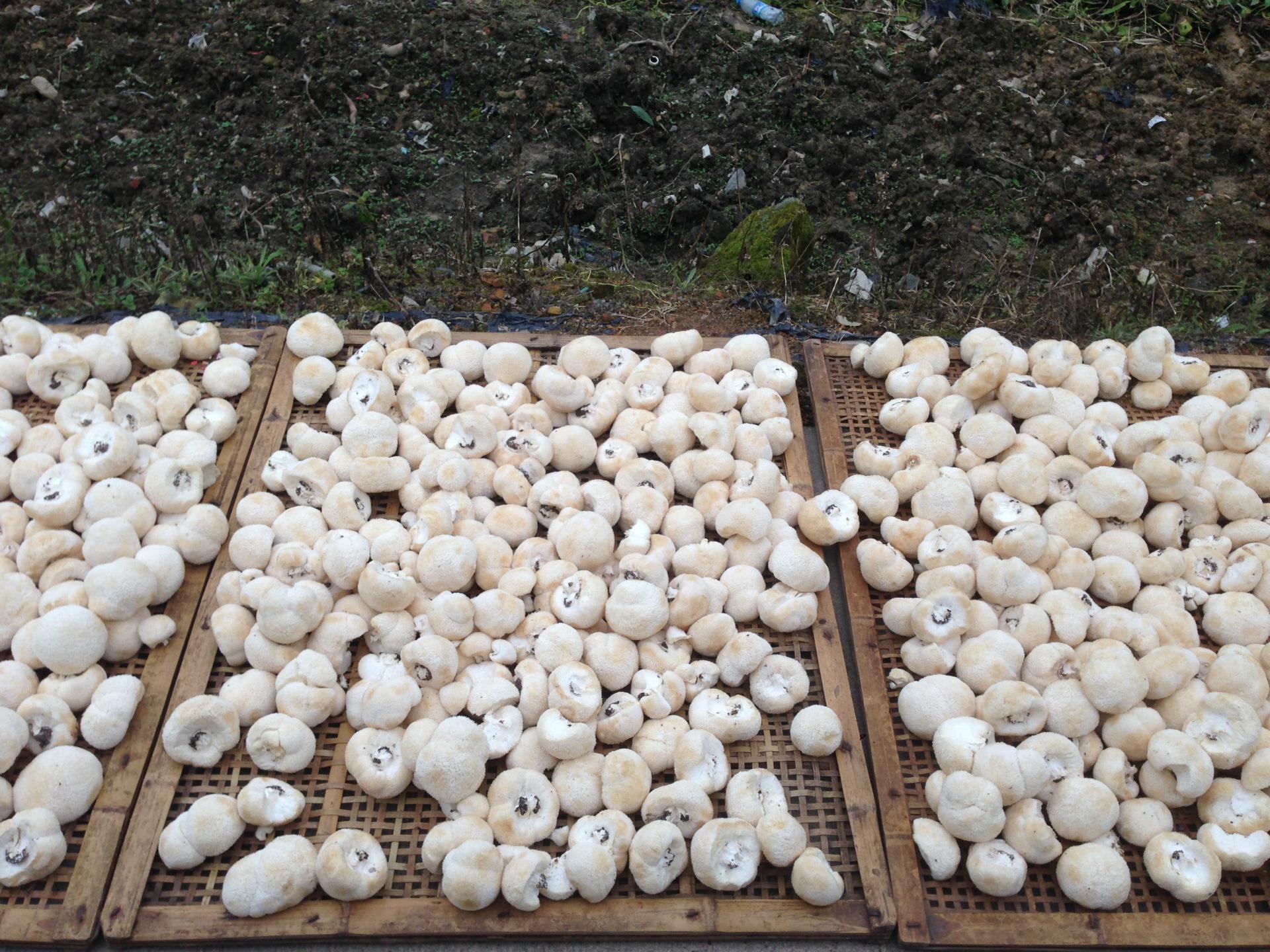 古田农家新品猴头菇 猴头菌刺猬菌 山珍猴头 素中荤250g