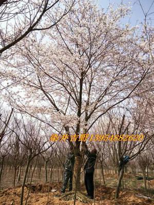 3公分5公分7公分染井吉野樱花 规格可选易成活多品种樱花树