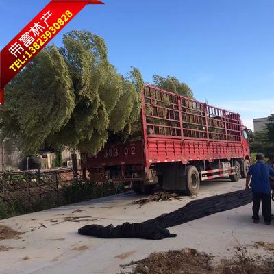 厂家供应 各种规格锦叶榄仁 中山园林绿化苗木 移植树