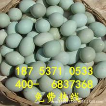 绿壳蛋鸡苗受精种蛋五黑鸡种蛋五黑一绿种蛋包受精