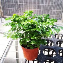 【基地直供】小幸福树(110)富贵观叶植物小盆栽办公室绿植花卉