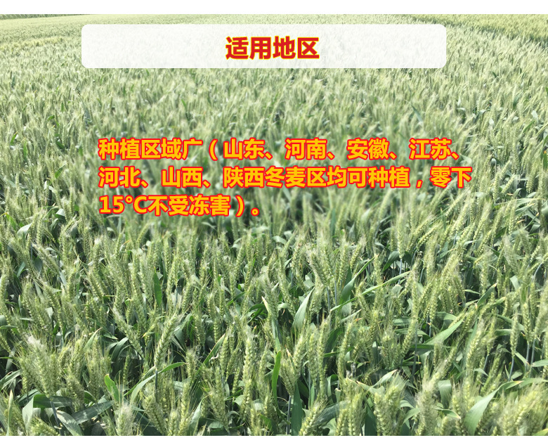高抗赤霉小麥品種三抗10號