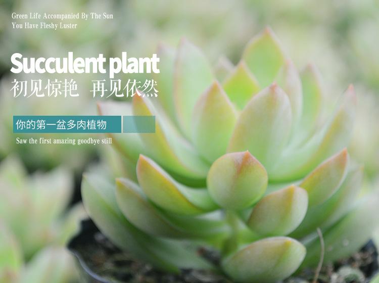 防辐射花卉 漳州多肉植物批发 大颗好 绿植小盆栽 防辐射花卉 阿里巴巴图片