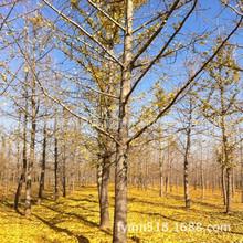 济宁银杏基地低价供应优美银杏树8000棵6-20cm银杏树