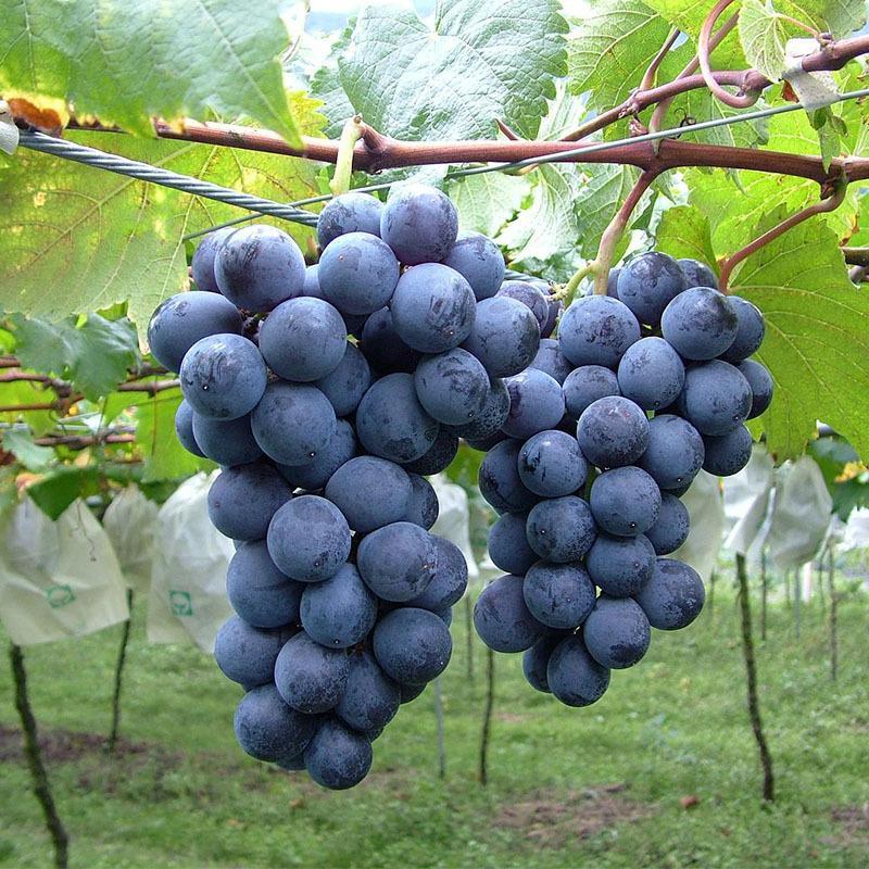 广西嫁接葡萄苗批发供应 夏黑葡萄苗 当年结果引进葡萄品种