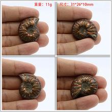 天然斑彩螺 菊石 古生物化石 发财螺 转运螺 风水摆件 吊坠