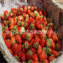 基地直销 草莓苗 红颜章姬草莓苗 阳台种植果树苗 带土发货