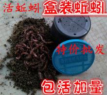 批發 養殖蚯蚓 魚餌 萬能餌 鳥食 烏龜食 漁具 釣魚蚯蚓活體盒裝