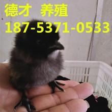 甘肃绿壳蛋鸡苗、五黑鸡、380公鸡、大红公鸡、青脚土公鸡批发