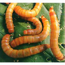 专业养殖场大量批发活体?#21697;?#34411;面包虫大麦虫 供应多种特种昆虫