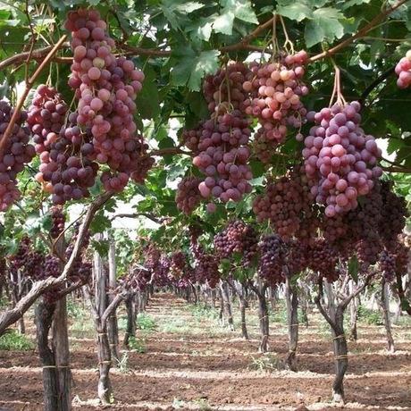 青提葡萄水果苗果树苗盆栽地栽果树苗红提子葡萄当年结果
