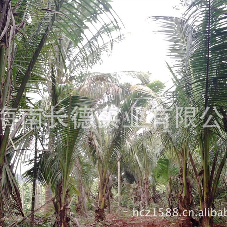 供应 大量易成活椰子树苗 优质泰国甜水椰子苗 量大从优
