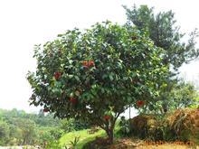 苗木基地供应灌木茶花树 各规格道路园林观赏植物出售 价优