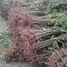 基地供应 红油香椿树  果树哪家好易成活 香椿树