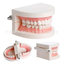 口腔教学 保健护理牙齿模型 小牙模 口腔用品 幼儿园刷牙教学模型