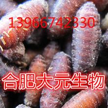 红头苍蝇种蝇蛆种 苍蝇卵 苍蝇种养殖基地供蛆种 蝇蛆蛹