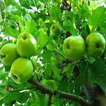 【10斤装包邮】现摘陕西青苹果 新鲜早熟水果 产地直销一件代发