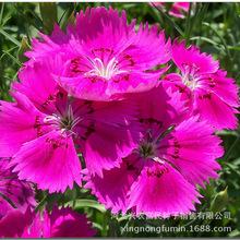 百花园五彩石竹花卉种子 家庭园艺 阳台绿植盆栽四季种植花籽批发