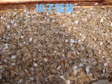 常年出售诚信经营梭子蟹苗,螃蟹苗,豆蟹苗,扣蟹苗,毛蟹苗