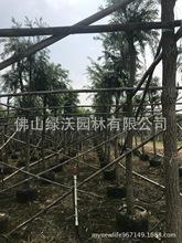 供应10公分串钱柳,上袋假植一年以上,冠幅1.5-2.0米