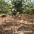 早樱花基地山东批发5公分6公分7公分8公分9公分10公分樱花树价格